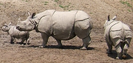 BUSTED! - Sharphooters hired to kill rhinos - TIMES OF INDIA | Endangered species | Scoop.it