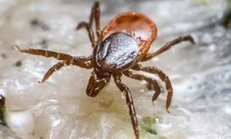 Tick bites that trigger severe meat allergy on rise around the world | Alpha-Gal | Scoop.it