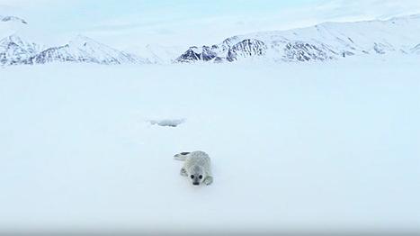 Greenpeace vous emmène en #Arctique pour un voyage en réalité virtuelle #video #ours #phoque #banquise | Arctique et Antarctique | Scoop.it