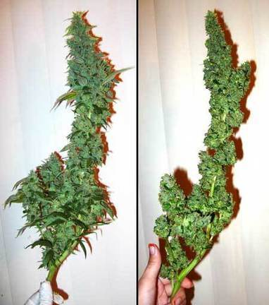 Complete Guide to Trimming Cannabis | Grow Weed Easy | Grow Weed Easy | Scoop.it
