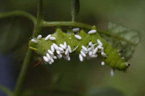 Garden Q&A: Parasitic wasps play crucial role - Tribune-Review | Plant protection | Scoop.it