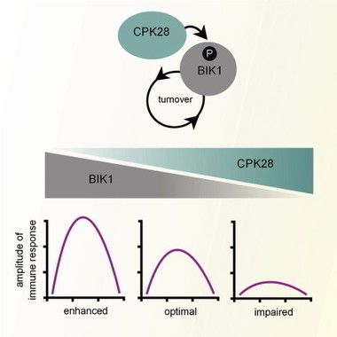 Cell Host & Microbe: The Calcium-Dependent Protein Kinase CPK28 Buffers Plant Immunity and Regulates BIK1 Turnover (2014)   Pathology   Scoop.it