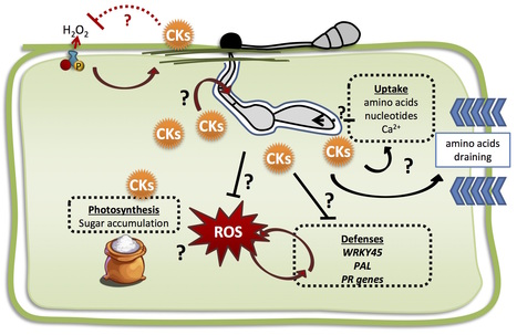 PLOS Pathogens: Cytokinin Production by the Rice Blast Fungus Is a Pivotal Requirement for Full Virulence (2016) | Host-Pathogen Interactions | Scoop.it