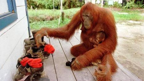 BBC - Travel - Orangutans: As human as you or me? : Wildlife, Borneo | Orangutans | Scoop.it