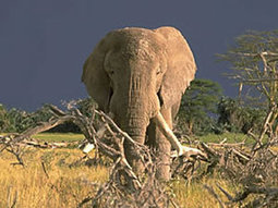United States calls for global ivory destruction on 8th October | Corinne | Scoop.it