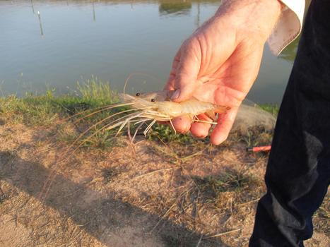 Freshwater prawns ready for harvest in Pittsylvania County - GoDanRiver.com | Aquaculture | Scoop.it