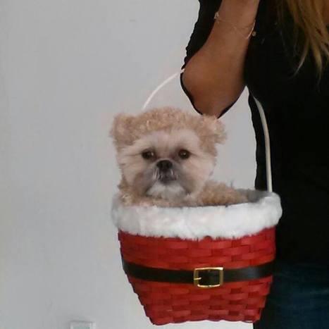Munchkin the super cute Teddy Bear dog goes sleighing   enjoy yourself   Scoop.it