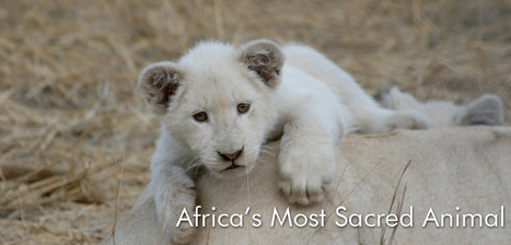 Legal to trophy hunt a White Lion, illegal to save It | Conservation Management | Scoop.it