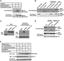 PLOS Pathogens: Bacterial Effector Activates Jasmonate Signaling by Directly Targeting JAZ Transcriptional Repressors | Interactions | Scoop.it