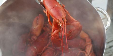 Les homards souffrent-ils lorsqu'on les plonge dans l'eau bouillante ? | EntomoNews | Scoop.it