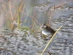 Frog spawn season; what do you need to know? | Wildlife Trust of South and West Wales | Scoop.it