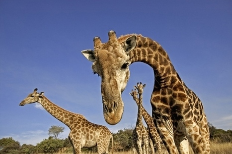 Nature: DNA reveals that giraffes are four species — not one | fundoshi TOPICS: Plant biology, cell biology, and more | Scoop.it