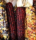 OFRF Funded Research Produces GMO-Resistant Corn | sustainablity | Scoop.it