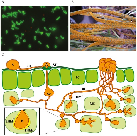 PLOS Pathogens: The Ins and Outs of Rust Haustoria (2014) | Plants and Microbes | Scoop.it