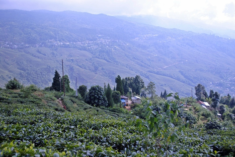 Alluring Ambiance of Dilaram Tea Estate of Kurseong   An Open Eye to the Outdoor   Scoop.it