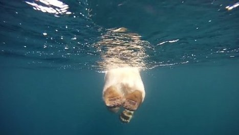 Stunning New Video View of Swimming Polar Bears | Conservation GIS | Scoop.it