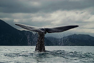 Future for endangered whales lies with IWC | All about water, the oceans, environmental issues | Scoop.it