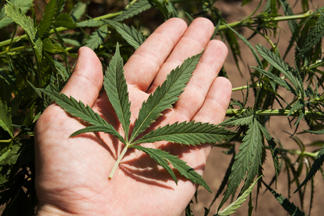 Smoking Marijuana Is Good For Your Lungs [Recent Study]   Cannabis & CoffeeShopNews   Scoop.it