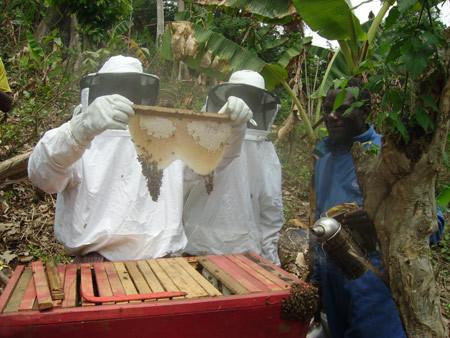 Le Septentrion Infos » Exploitation du miel dans l'Adamaoua : La ... | Abeilles, intoxications et informations | Scoop.it