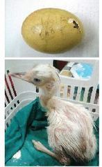 Cracked Egg Glued, and a Baby Rhea is Born! | Quite Interesting News | Scoop.it