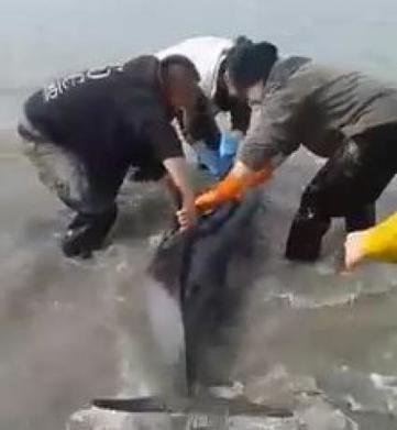 Bretagne : trois bébés dauphins et leur maman sauvés par des ostréiculteurs | Des infos sur notre planète : ecologie , biodiversité | Scoop.it