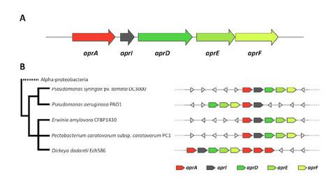 Molecular Plant-Microbe Interactions (2014): Pseudomonas syringae evades host immunity by degrading flagellin monomers with alkaline protease AprA | Spoelder | Scoop.it