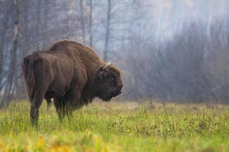 Where the buffalo have evolutionarily roamed | News we like | Scoop.it
