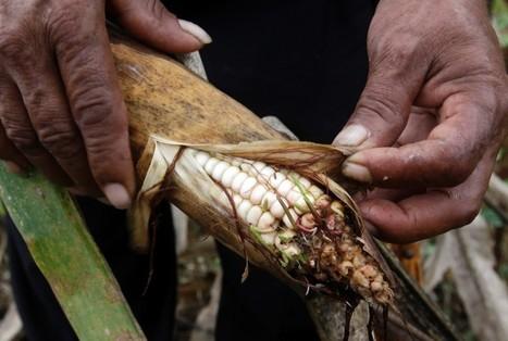 Climate-hit Salvadoran farmers return to indigenous agriculture | Maori entrepreneurship | Scoop.it