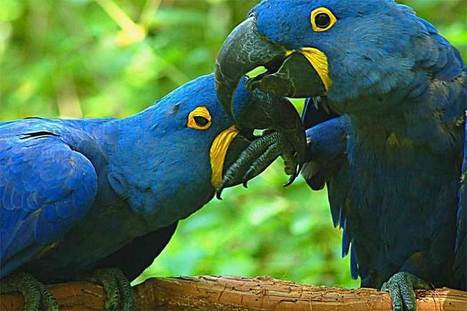 "Bolivia's domestic parrot trade supplied by birds seen as ""crop pests"" 