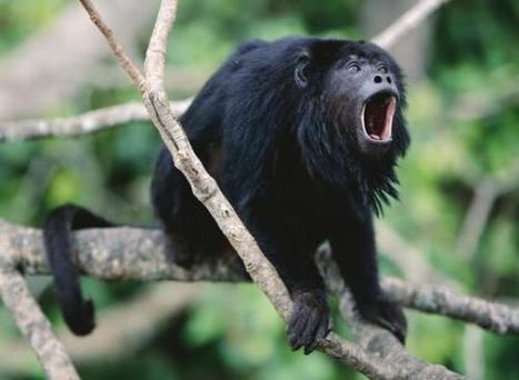 Howler Monkey Facts | List of 10 Amazing Facts about Howler Monkeys | AnimalsTime | Scoop.it