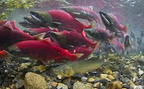 Alaska mine threatens salmon, native cultures -U.S. agency | In Deep Water | Scoop.it