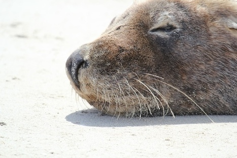 Sea lion? Take a snap to help Curtin research - News and Events | The Australian Sea Lion | Scoop.it