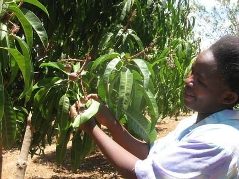 Arid Kenya swaps charcoal burning for mango farming | Climate-Smart Africa | Scoop.it