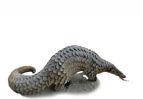 Le pangolin, espèce en danger | Biodiversité & Relations Homme - Nature - Environnement : Un Scoop.it du Muséum de Toulouse | Scoop.it