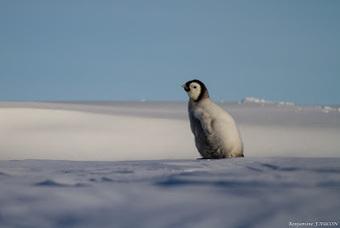 Faucon adélie: Histoire d'un poussin qui avait faim #manchot #TAAF #Antarctique #phoque | Arctique et Antarctique | Scoop.it