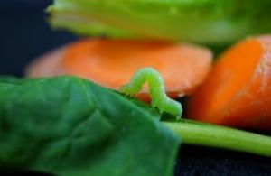 Horloge biologique : Votre salade aussi sait quelle heure il est   EntomoNews   Scoop.it