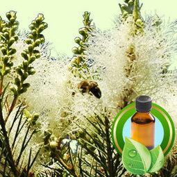 Tea Tree Australian ESSENTIAL OIL | Essential-Oils | Scoop.it