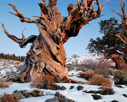 The world's oldest living tree | NGOs in Human Rights, Peace and Development | Scoop.it
