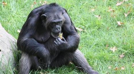 Cette découverte qui remet l'homme en question: les primates aussi sont aussi entrés dans l'âge de pierre | Aux origines | Scoop.it