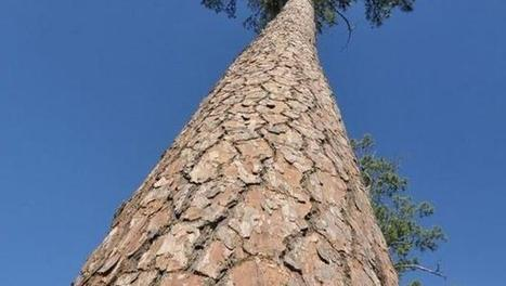 Pine tree yields longest genome ever sequenced - CBS News   plant cell genetics   Scoop.it