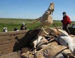Mass deaths of saiga antelope in Kazakhstan caused by bacteria | Central Asia Energy | Scoop.it
