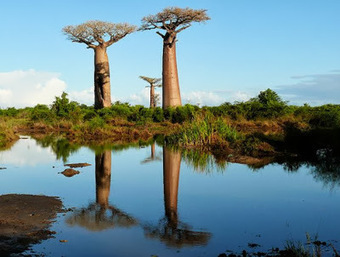 The Phytophactor: Baobabs in trouble | Erba Volant - Applied Plant Science | Scoop.it