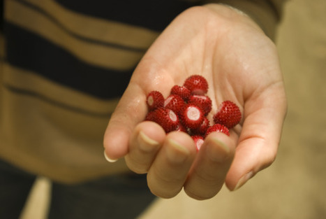 wild strawberries   Food Culture   Scoop.it