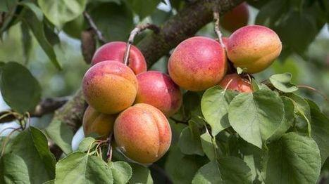 Les récoltes des fruits et légumes en forte baisse | Arboriculture: quoi de neuf? | Scoop.it