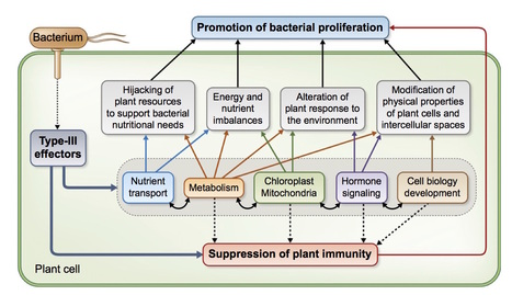 New Phytologist: Subversion of plant cellular functions by bacterial type-III effectors: beyond suppression of immunity (2016) | Host-Pathogen Interactions | Scoop.it