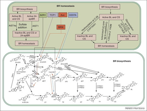 Trends in Plant Science - Benefits of brassinosteroid crosstalk | Plant Microbe interactions1 | Scoop.it