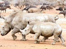 Still hope for surviving rhinos despite poaching - Crime & Courts   IOL News   IOL.co.za   What's Happening to Africa's Rhino?   Scoop.it