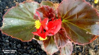 Meu cantinho verde: BEGÔNIA-SEMPRE-FLORIDA - ( Begonia semperflorens ) | paisajismo | Scoop.it