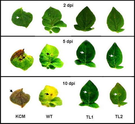 Overexpression of Camellia sinensis Thaumatin-Like Protein, CsTLP in Potato Confers Enhanced Resistance to Macrophomina phaseolina and Phytophthora infestans Infection - Springer | Oomycetes | Scoop.it