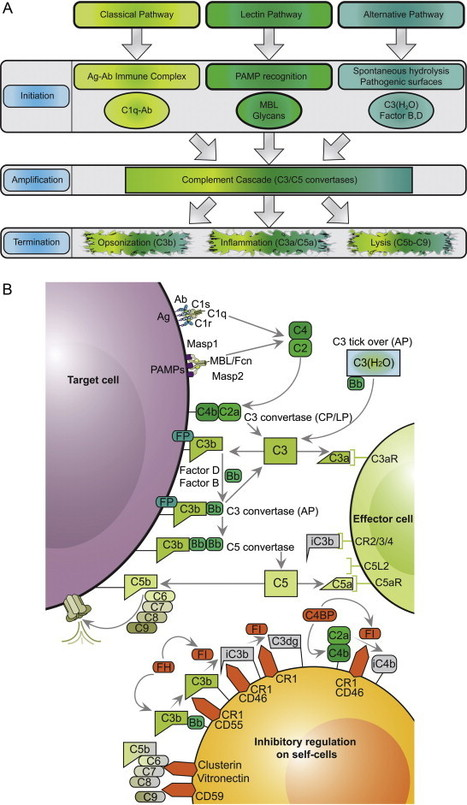 Complement in therapy and disease: Regulating the complement system with antibody-based therapeutics | Host Cell & Pathogen Interactions | Scoop.it